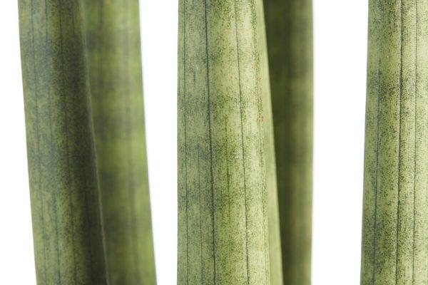 Sanseveria | Plant van de maand augustus