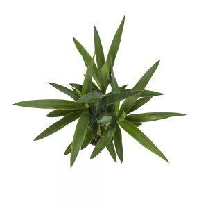 Yucca | Plant van de maand juli