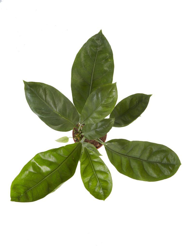Anthurium Jungle King | Plant van de maand mei
