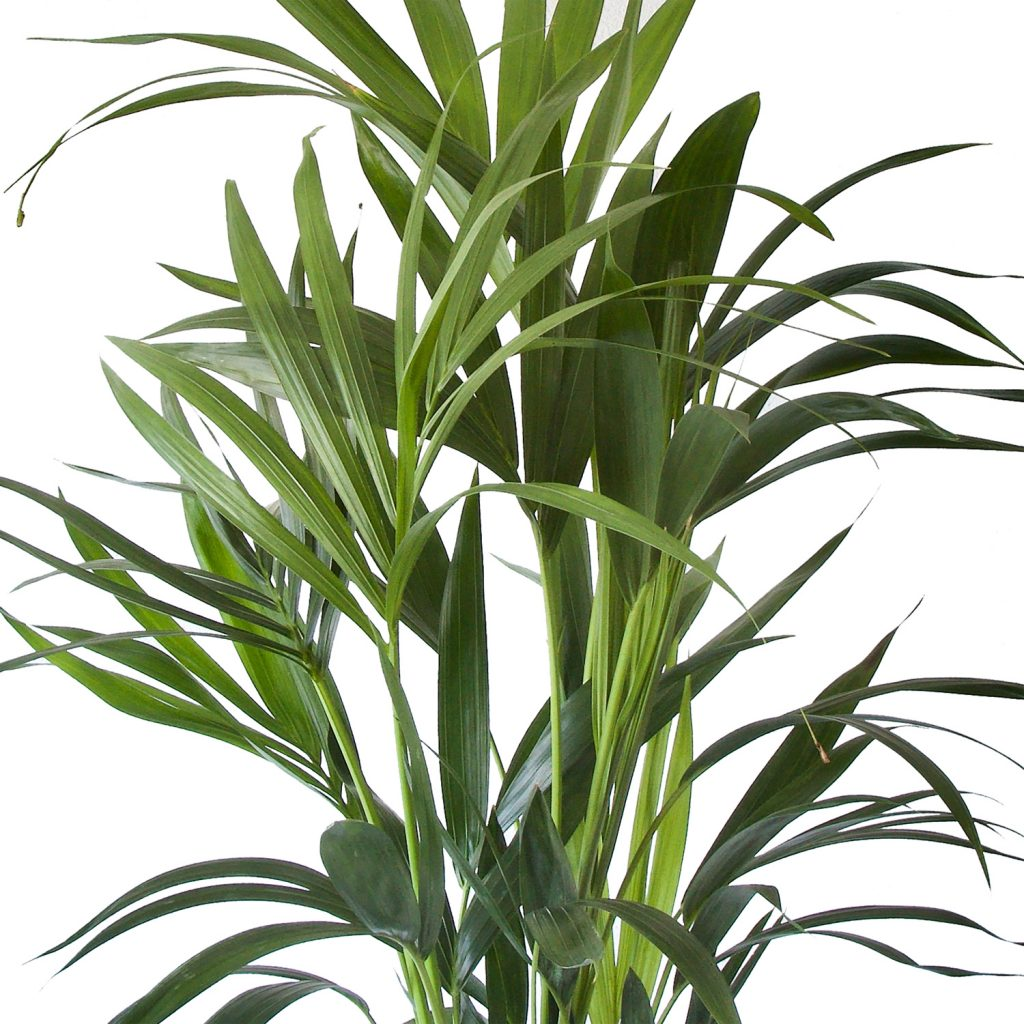 Kentia Palm | Plant van de maand April