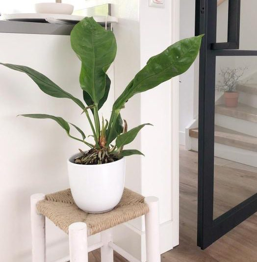 De Koning van de Jungle!  | Anthurium Jungle King
